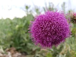 purple formosan thistle