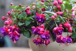Purple Fuchsia in pot