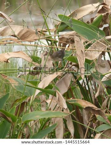 Purple Gallinule (juvenile) (porphrio martinicus) #1445515664