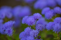 Purple garden flowers macro photography. Blue ageratum flower garden photography.