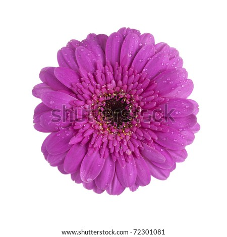 purple gerbera daisy blossom with dew drops isolated on white background