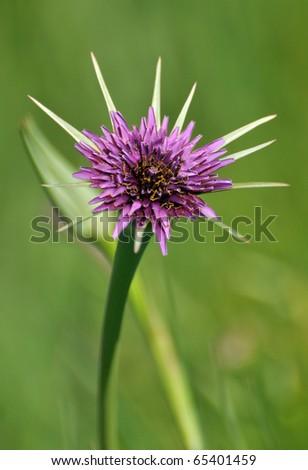 Purple Goats beard wild flower
