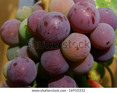 purple grape grapes ripening wallpaper background