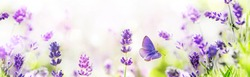 Purple growing Lavender and flying butterfly in spring morning panoramic view.