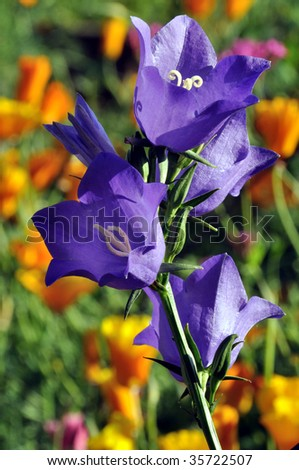 Purple Harebell Flowers