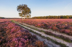 Purple heather blooming at Westerheide, Hilversum, The Netherlands. Dirt road crossing the field diagonally.