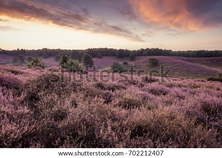 Purple heather hills in bloom of the Posbank Veluwe national park Rheden, Before sunrise with soft pink clouds, Bloomin heather hills Dutch landscape Veluwe Netherlands #702212407