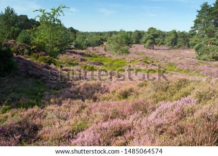 Purple heather on the Dwingelderveld, the Netherlands #1485064574