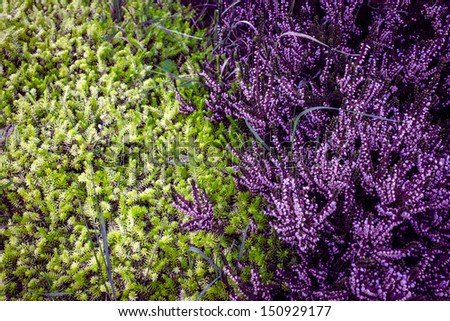Purple heather with contrast green pine #150929177
