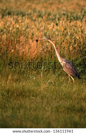 purple heron animals birds with wings wild birds abnormal world