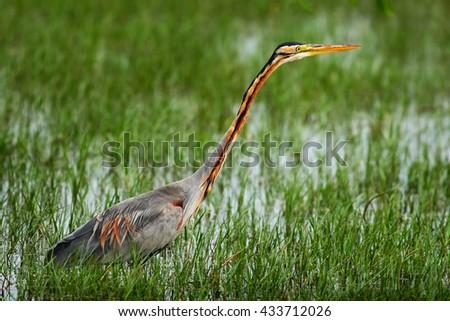 Purple Heron, Ardea purpurea manilensis, beautiful heron in the nature habitat, in the green grass with water.