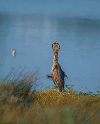Purple Heron in Sholinganallur Marshland