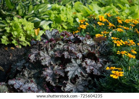 Purple heuchera Can-Can in flower bed with orange tagetes, amazing ...