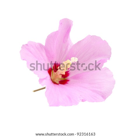 Purple Hibiscus Essay Purple Hibiscus Essay Purple Hibiscus