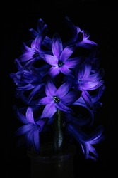 Purple hyacinth flowers close-up. Contrast light, dark background. The concept of a holiday, celebration, women's day, spring. Background natural bright image, suitable for banner, postcard.