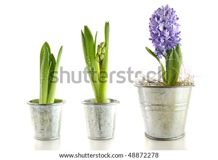 Purple hyacinth in garden pots on white background