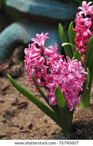 Purple hyacinth - Spring Flowers in Brooklyn, NY