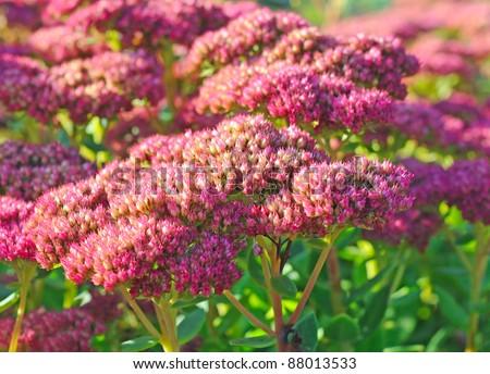 Purple hylotelephium or sedum telephium, shallow depth of field
