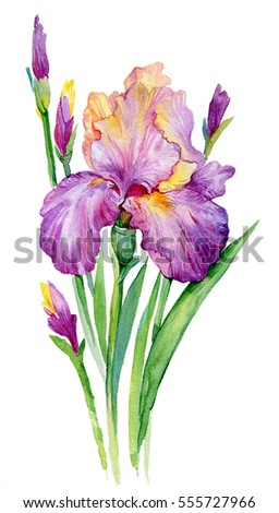 purple iris. illustration watercolor iris/ flower isolated on white background