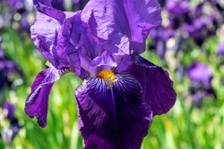 Purple iris with a yellow core.  Bearded iris (Iris Germanica) macro on a background of bright green leaves and flowers. Beautiful flowers in the summer garden.