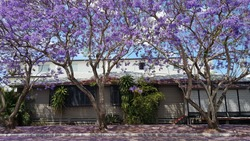 Purple Jacaranda against old Queenslander and blue sunny sky.  Tree flowers falling onto road and footpath/sidewalk.  Wooden lattice and stairs of building.