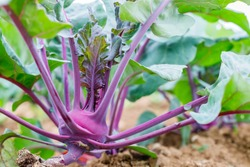 Purple Kohlrabi (German turnip or turnip cabbage) in garden bed in  vegetable field. Kohlrabi cabbage or turnip plant growing in Agricultural field, ready to harvest, fresh and ripe.
