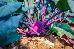 Purple Kohlrabi (German turnip or turnip cabbage) in garden bed in  vegetable field. Kohlrabi cabbage  plant growing in Agricultural field, ready to harvest, fresh and ripe.