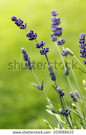 Purple lavender flowers, background out of focus.