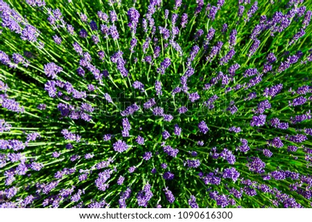 purple lavender flowers bush directly above