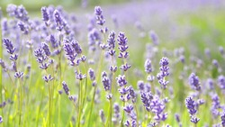 Purple Lavender Flowers Growing in English Countryside