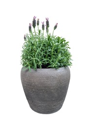 Purple Lavender flowers growth in flowerpot isolated on white background