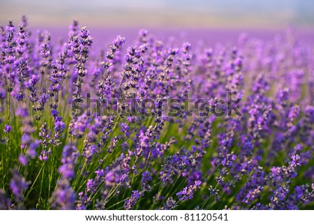 purple lavender flowers in the field