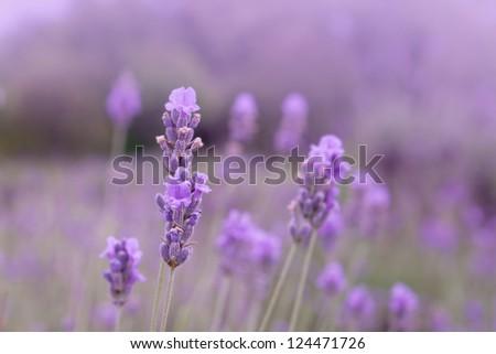 Purple lavender flowers in the field background