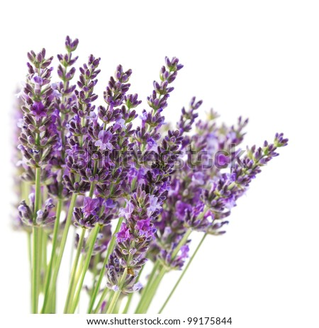 Purple lavender flowers, isolated on a white background