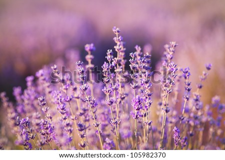purple lavender flowers - Sunset over a summer lavender field . Bunch of scented flowers in the lavanda fields of the French Provence near Valensole
