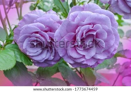 Purple lavender roses in the garden. Blooming  lavender roses Blue Moon on the bush in rose garden