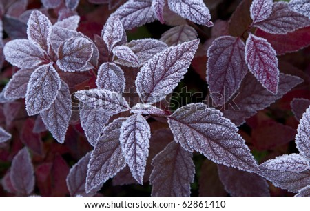purple leaves are covered with morning frost