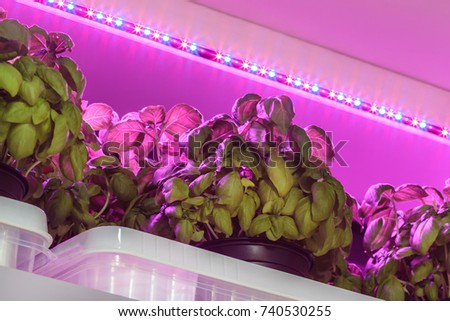 Purple LED lighting used to grow basil inside a warehouse without the need of sunlight