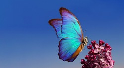 purple lilac and colorful morpho butterfliy against the blue sky. colorful blue butterfly flying over purple lilac flowers. bright spring background. copy space