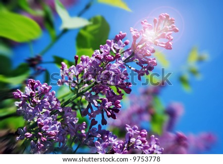 Purple lilac branch with a sun flare in spring on a blue sky background