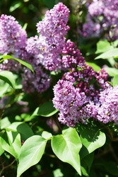 purple lilac bush blooming in May day.