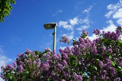 Purple lilac bush in May. Syringa vulgaris, the lilac or common lilac, is a species of flowering plant in the olive family Oleaceae. Berlin, Germany
