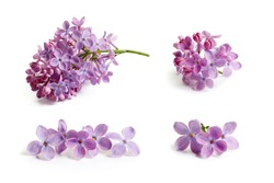 Purple lilac flower on white background.