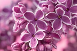 Purple lilac flowers as a background/ Syringa vulgaris