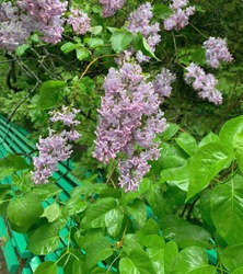 Purple lilac flowers bush in green fresh foliage after spring rain. Blooming Lilac Syringa vulgaris shrub in garden. Romantic Lilac Blossoms growing over bench in park.