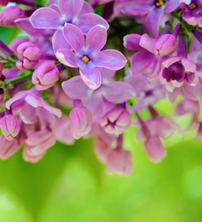 Purple Lilac� Flowers on the Blurred Green Background. Spring Blossom Background