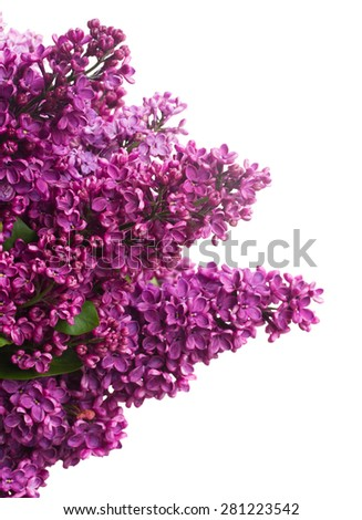 Purple Lilac fresh  flowers isolated on white background #281223542