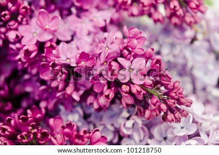 Purple lilac isolated on white background #101218750