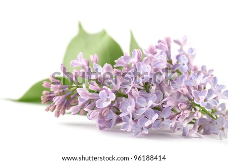 Purple lilac isolated on white background