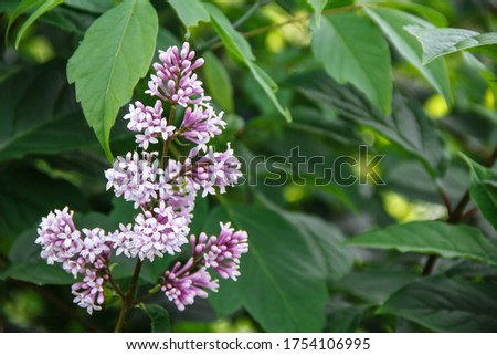 purple lilac on a bush among leaves with a blurred bokeh background